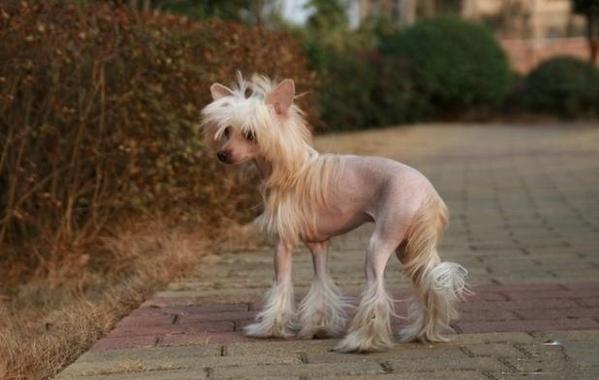 中国冠毛犬怎么训练